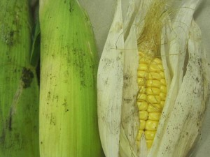 Some maize we grew in a tunnel tunnel behind the shopping precinct