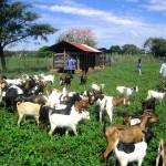 Goat improvement project, one the key Dolen Ffermio projects