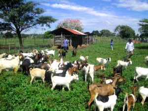 Goat improvement project, one the key Dolen Ffermio projects