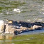 Croc sunning himself