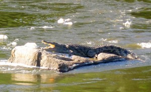 Croc sunning himself