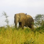 Mighty elephant at Murchison